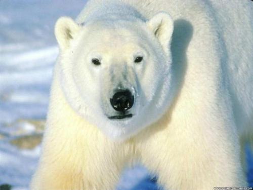 fondo-oso-polar1